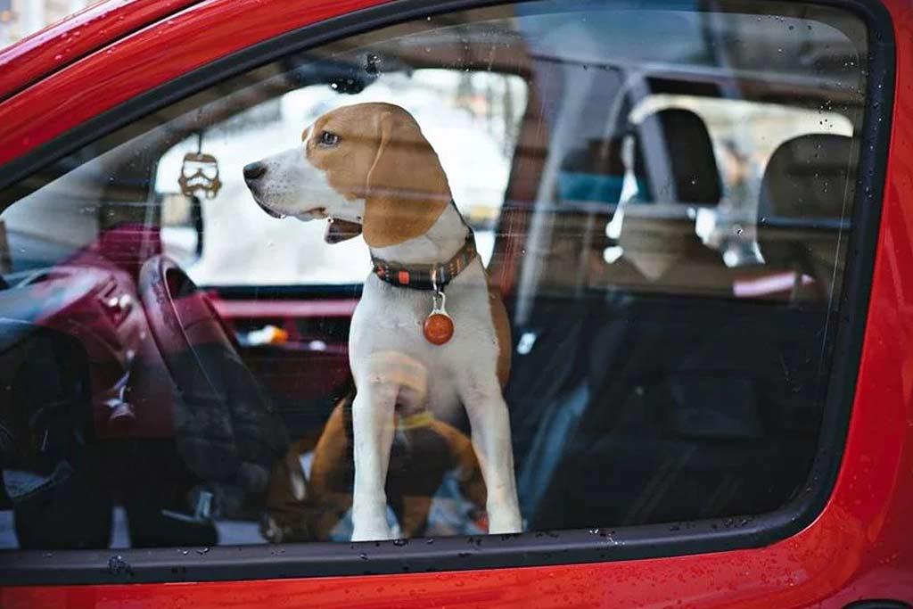 За питомца в машине могут выписать штраф 80 000 рублей: как не нарваться?